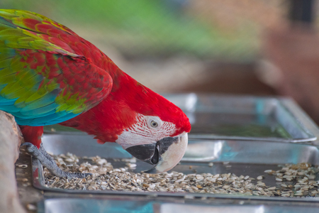 periquito: Red macaw eatting nature food with blur background