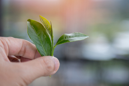 Fresh tea leaves in the hand background