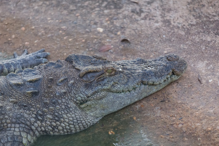 Close-up of Head crocodile, alligator in the park