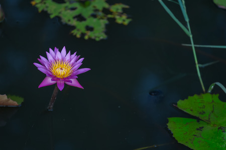 nebraska: Pink lotus flower blooming in the pond Stock Photo