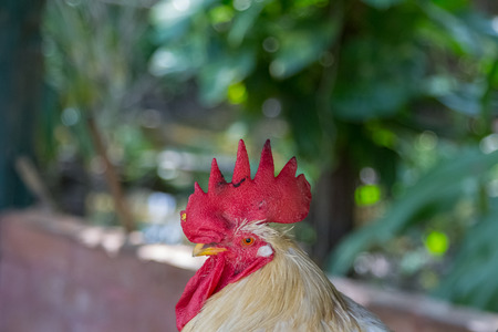 Close up of White chicken with red cockscomb Stock Photo