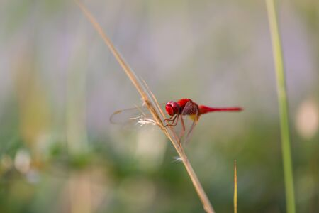 Red Dragonfly Perched on a Branch top of tree