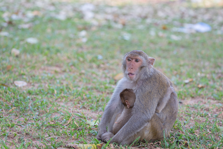 Mother monkey and baby monkey rest on the lawn