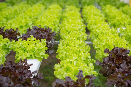 Granja orgánica hidropónico vegetal cultivo Foto de archivo - 87903201