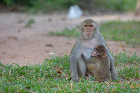 Mother monkey and baby monkey  On the lawn
