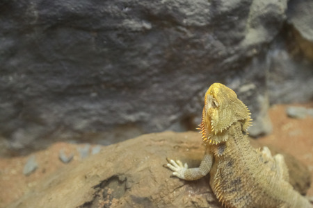 Desert lizard stand looking around and show face with nature background
