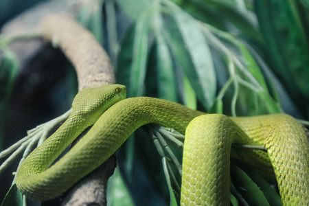 White-Lipped Pit Viper wandering on branch background