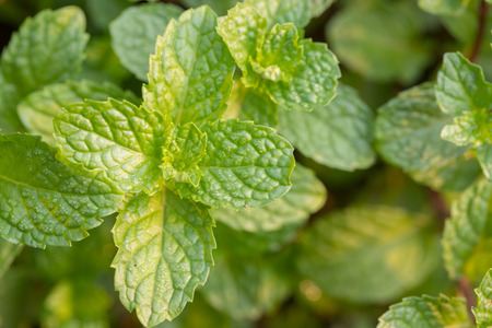 Close up of organic Mint leaves on the tree with blur nature background