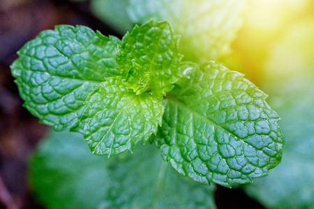Fresh green peppermint leaves plant with nature background