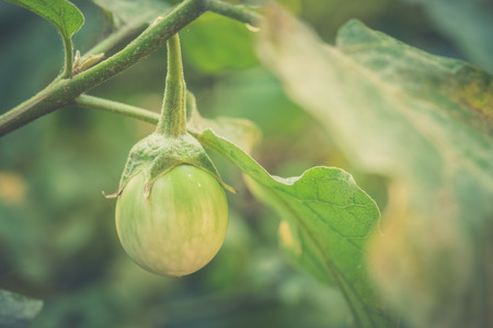 Close up of organic Eggplant on the tree with blur nature background