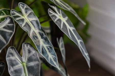 Pattern leaf of Alocasia sanderiana Bull Stock Photo