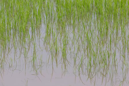 Green rice plant organic in the field nature background