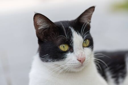 Thai  cats, black and white body with brown eyes Stockfoto