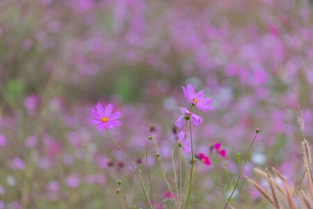 Beautiful  cosmos bipinnatus with bokeh nature background