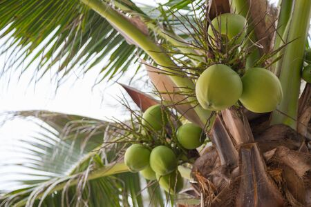coconut on tree with bokeh nature background