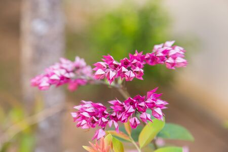 Mexican Creeper flower natural background Stockfoto