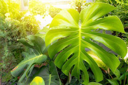 Monstera plant leaf pattern in the garden background Stockfoto