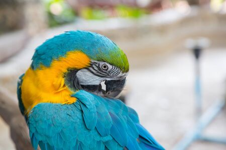 Big blue parrot macaw with nature blur background