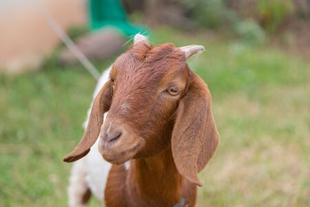 Brown lovely Goat looking the camera with green nature background Stockfoto