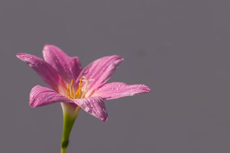 The pink zephyranthes grandiflora flower has water drops along the petals with gray wall background