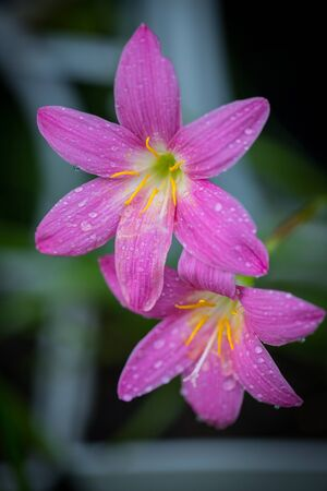 Pink zephyranthes grandiflora flower has water drops along the petals with black background Stock Photo