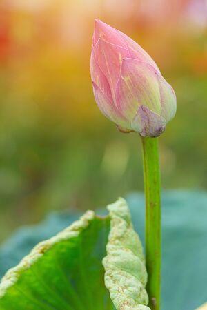 Pink lotus bud blooming with natural background Zdjęcie Seryjne