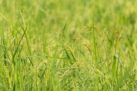 Green rice organic plant in the field nature background