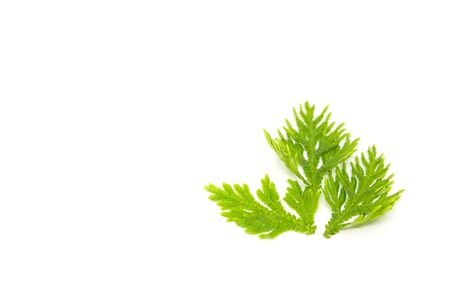 Selaginellaceae leaves on a white background