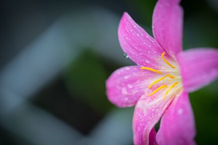 Pink zephyranthes grandiflora flower has water drops along the petals with black background Reklamní fotografie