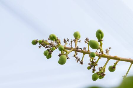 Small green mangoes on a branch of a mango tree background
