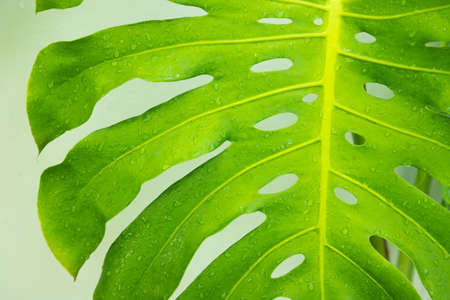 Monstera leaf pattern with fresh drops of water nature background