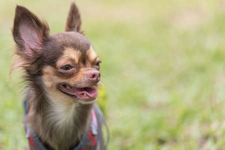 Long haired chihuahua dog playing with a blurred green lawn Stock fotó