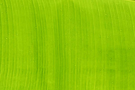 Green banana leaf texture use for background