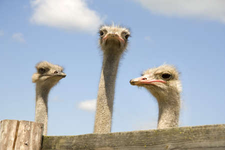 Three ostriches behind a fence on a blue background photo