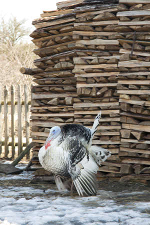 pompous: The pompous turkey-cock costs near a woodpile in the spring
