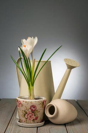 Krokussen in pot en tuingereedschap op een grijze achtergrond Stockfoto