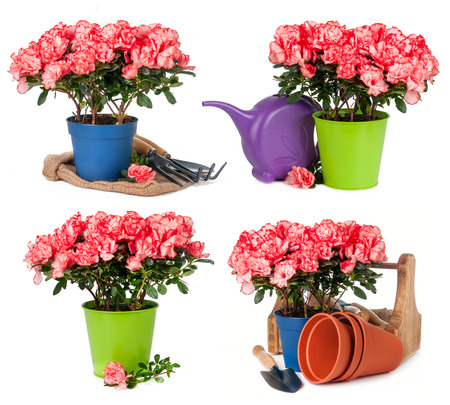 Tulips in pots isolated on white background Stock Photo