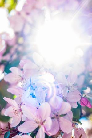Paradise apple blossom Stock Photo