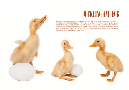 Mix duckling and eggs isolated on white