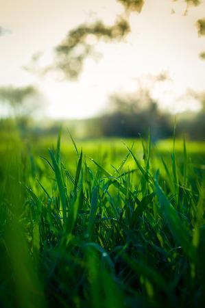 Green grass at sunset