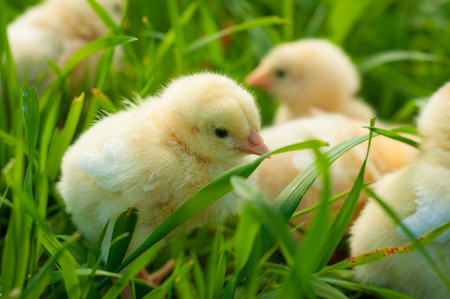 Yellow chicks on green grass