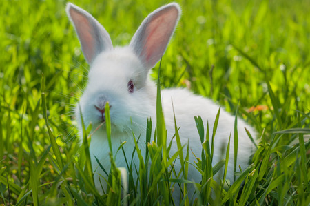 White bunny on the lawn