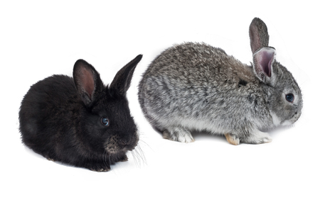 Two bunny isolated on white