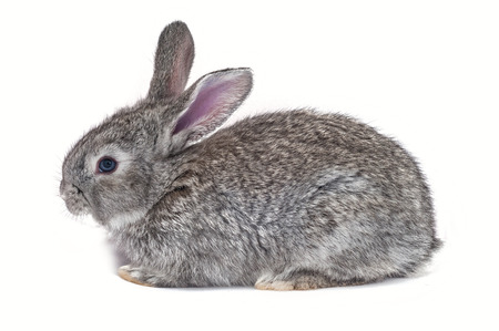 Grey bunny isolated on white
