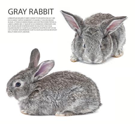 Mix Grey bunny isolated on white