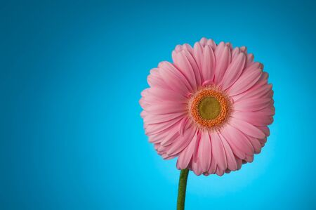 pink gerbera on a blue background Stock Photo