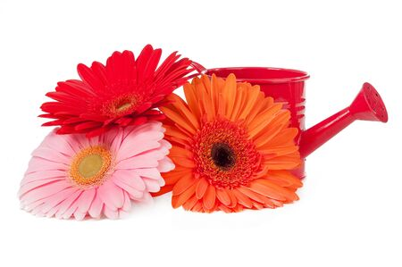 gerberas and watering can isolated on white background photo