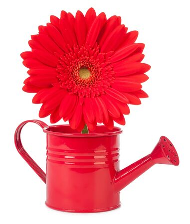 gerbera in a watering can isolated on white background Stock Photo