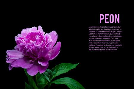 黒の背景に分離された紫牡丹