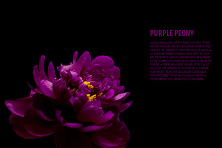 peonies: purple peony isolated on black background Stock Photo